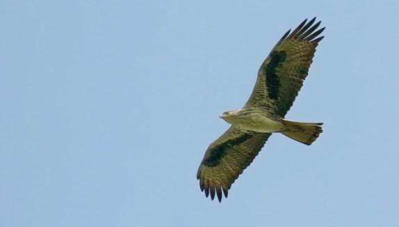 Aigle de Bonelli - WikiWommons - Crédit Dharani Prakash
