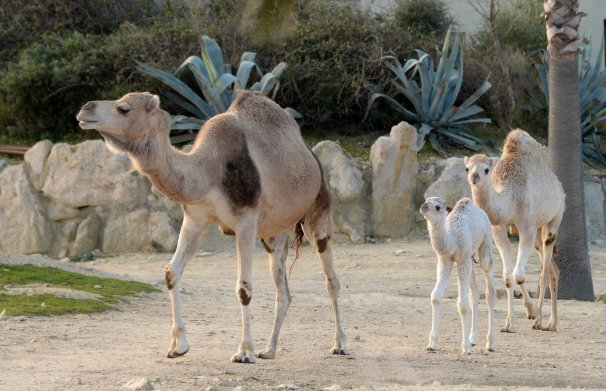Dromadaire Sultan-Reserve de Sigean