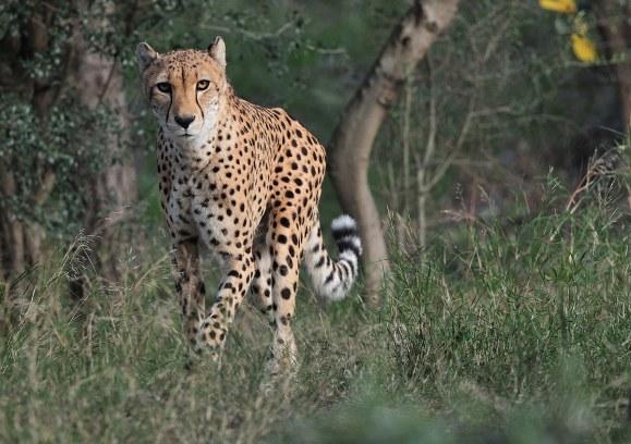 Guépard- Crédit photo réserve africaine de Sigean