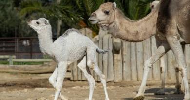 Réserve de Sigean – Sultan le dromadaire, première naissance 2019 sous l'œil des visiteurs