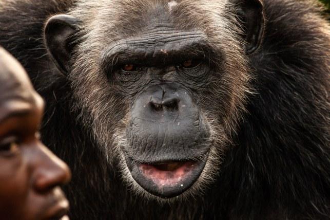 Adulte, un chimpanzé peut avoir, à poids égal, plus de 4 fois la force d'un humain.