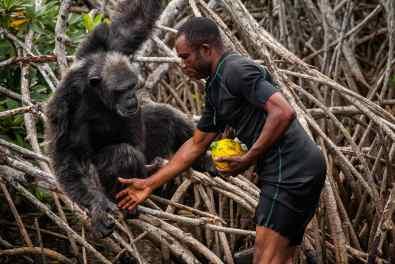En arrivant près des îles, les nourrisseurs sondent toujours le comportement des chimpanzés avant de les approcher. Bien que pacifique, cette espèce peut être dangereuse si elle se sent en danger ou contrariée. Ce comportement n'a rien d'anormal, il leur est même nécessaire pour survivre en forêt. Loin d'être des peluches, les approcher sans prendre de précautions peut s'avérer très risqué dans certains cas.