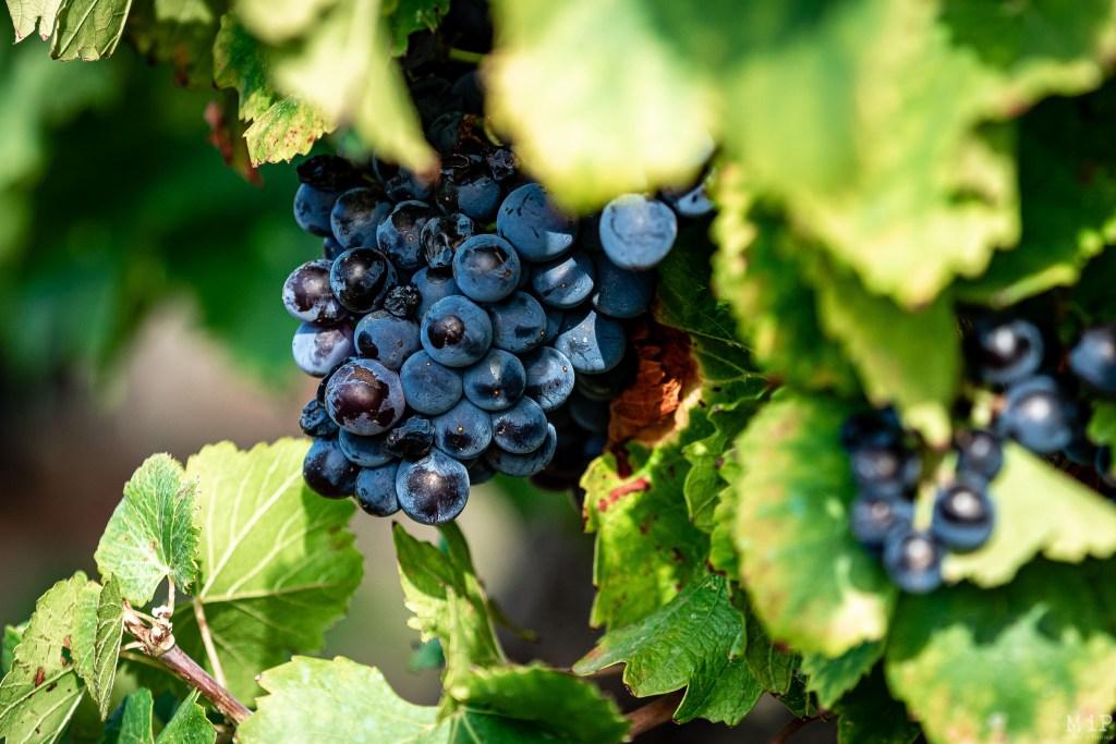 Estagel, France, Illustration vigne vin secteur viticole vinicole Fenouillèdes