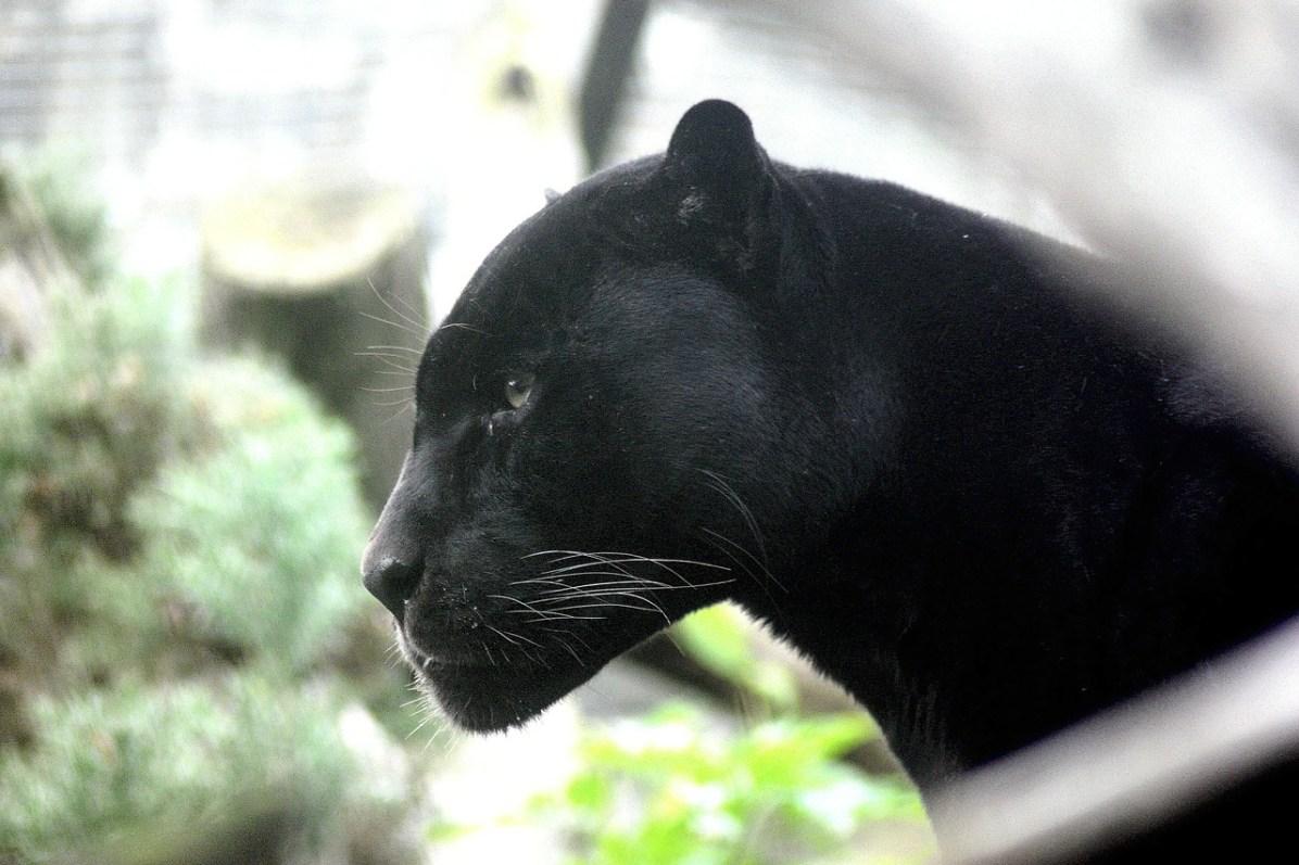 Panthère noire - Image d'illustration Pixabay