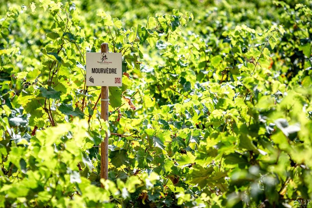 17/08/2020, Paulilles, France, vignoble des Pyrénées-Orientales © Arnaud Le Vu / MiP