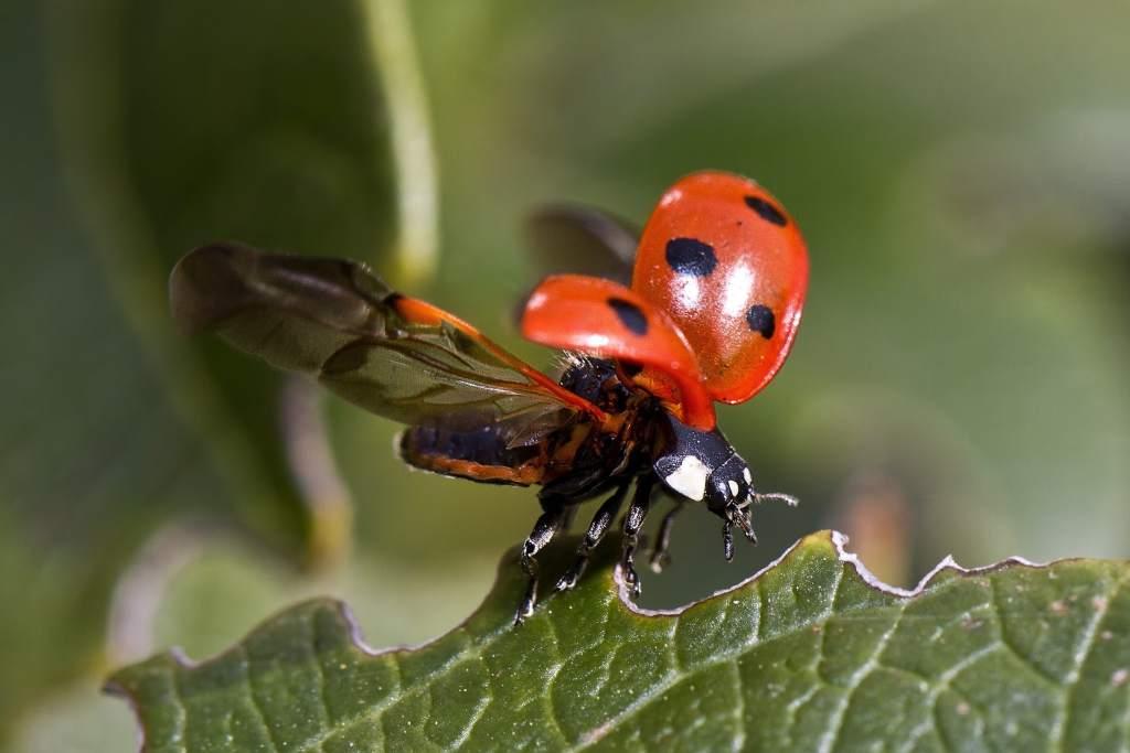 ladybug-743562_1920