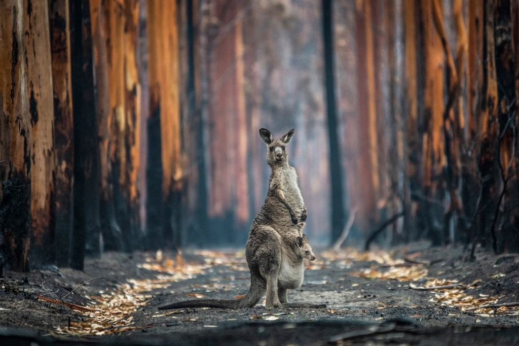 An Eastern grey kangaroo and her joey who survived the forest fires in Mallacoota.