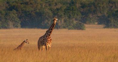 Rwanda staat stil bij World Giraffe Day