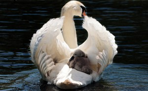 White swan parent shelters signet on it's back while floating on water