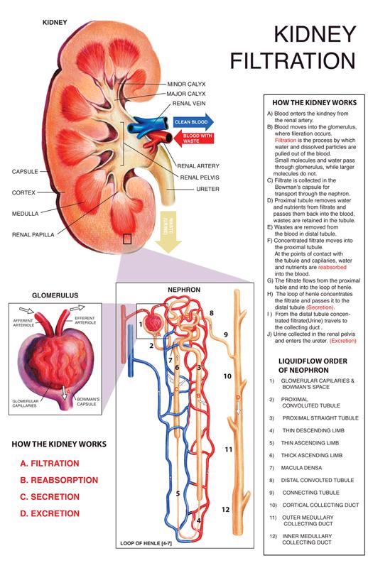 Kidney Filtration - Madeline M Lee
