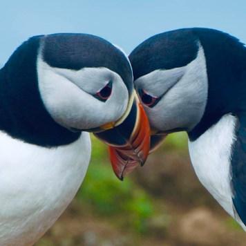 Due Puffin, viso a viso, che sembra vogliano baciarsi