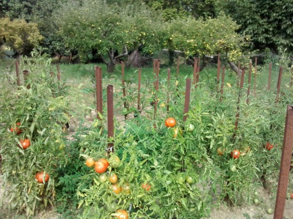 potager-tomates