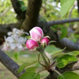 bourgeon-pommier-jardin-potager-bio