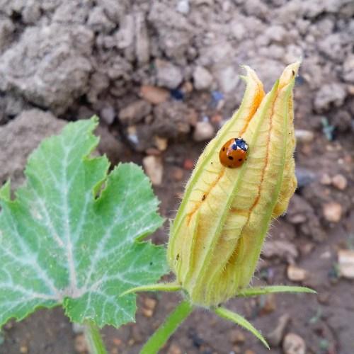 coccinelle-fleur-courgette-jardin-potager-bio