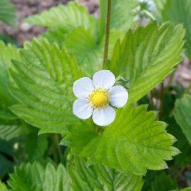 fleur-fraisier-jardin-potager-bio