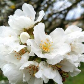 fleurs-cerisier-printemps-jardin-potager-bio