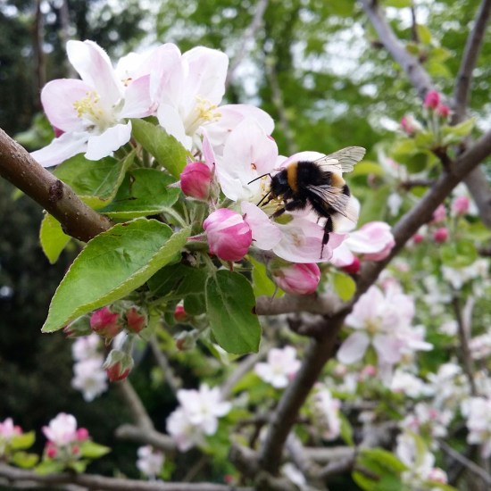 fleurs-pommier-bourdon-jardin-potager-bio