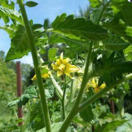 fleur-tomate-jardin-potager-bio