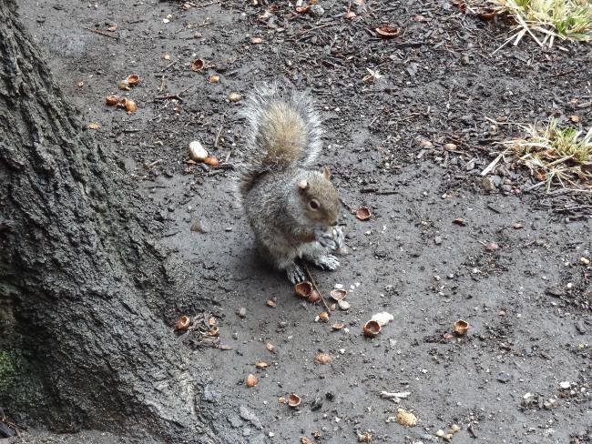 écureuil à Central Park