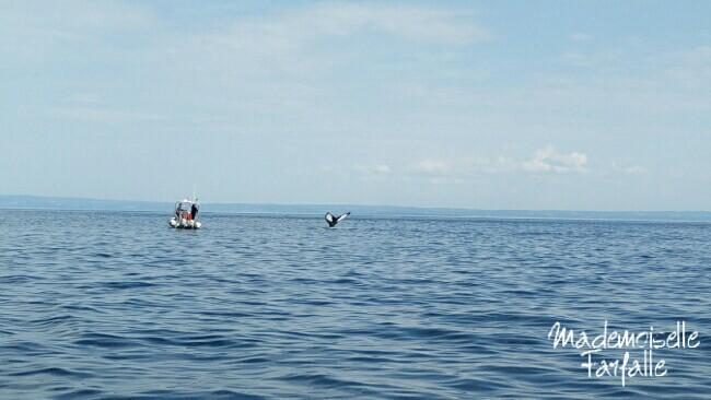 baleine dans le fjord du saguenay