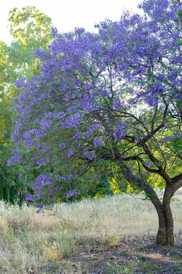 Blue jacaranda tree in bloom in Marbella
