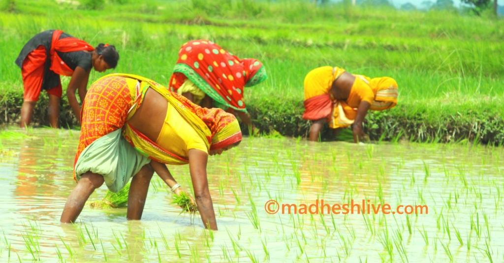 Saptari-Agriculture