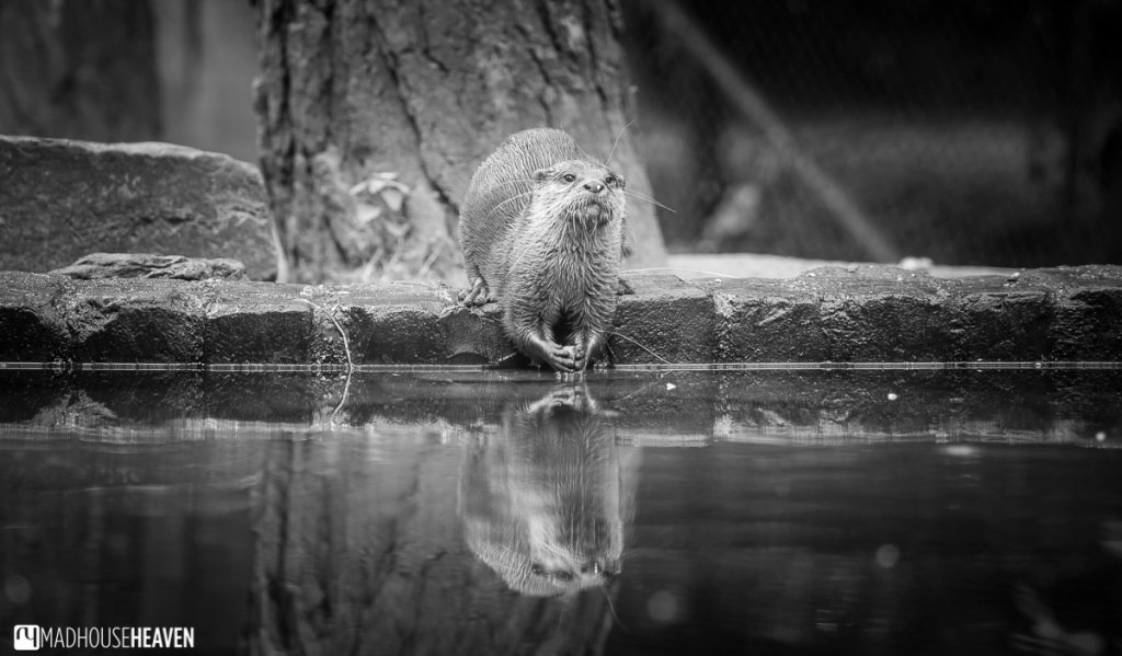 Asian small clawed otter washing food, Beekse Bergen Safari Park Review