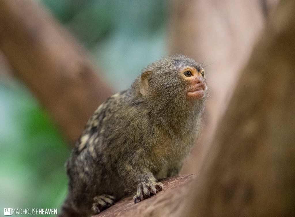 A tiny pygmy marmoset in Amsterdam's Artis Zoo new enclosures