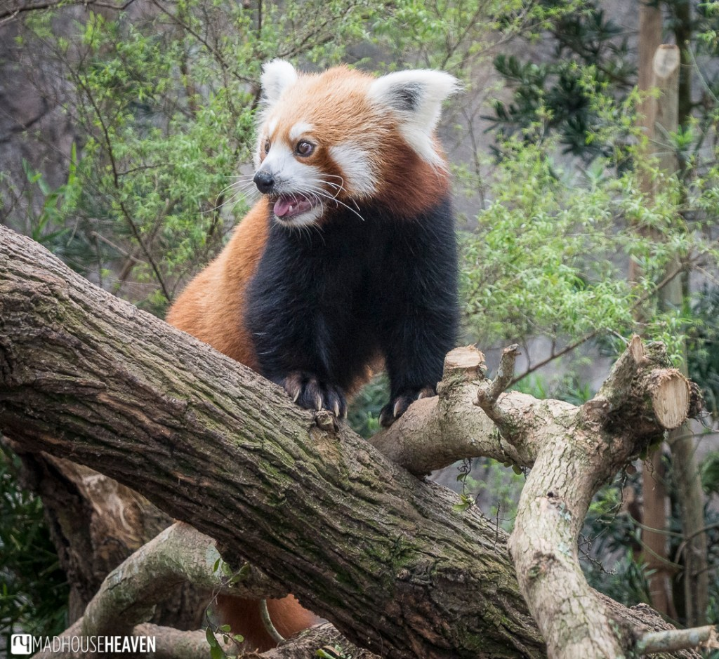 red panda river safari