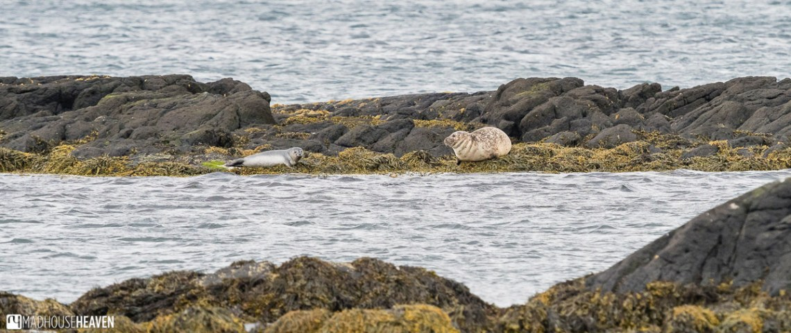 mother and baby harbour seal on Vatnsnes Peninsula in northwest iceland
