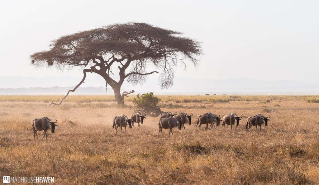 Group of wildebeest or gnu, walking across a dusty plain of Amboseli