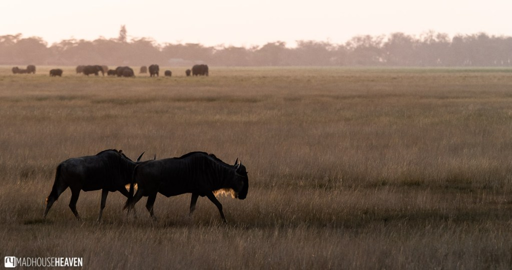 Two wildebeest, or gnu, silhouetted by a sunset in Amboseli