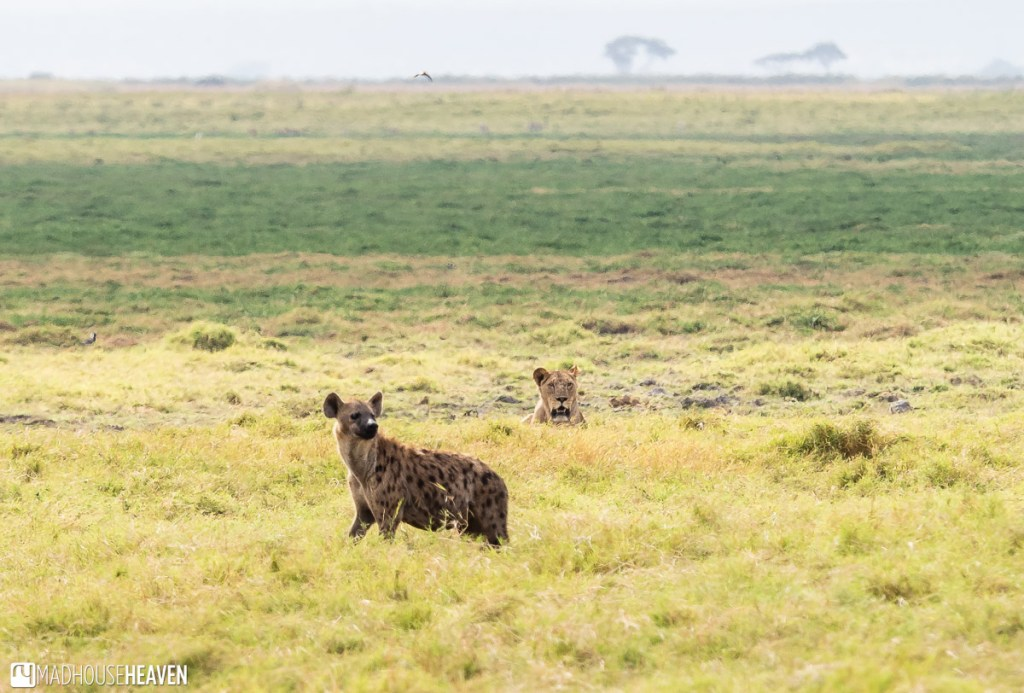 A hyena and a lion in the grassland of Amboseli