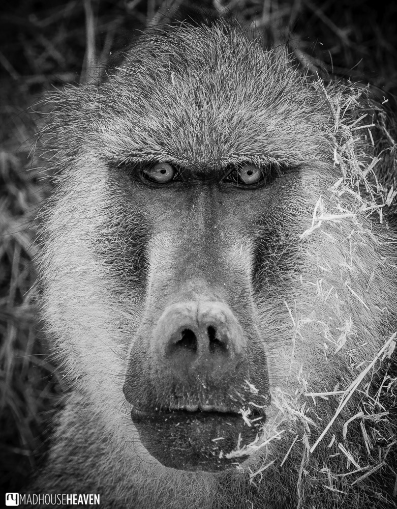Black and white portrait of a baboon monkey in Kenya, Africa