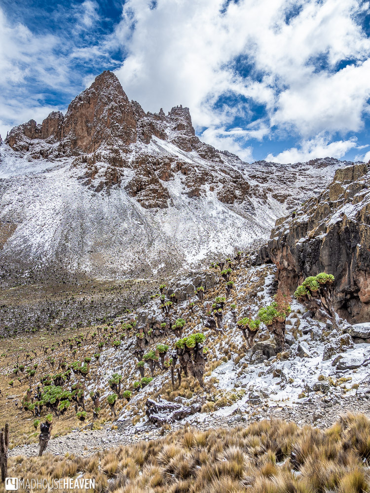 Looking at the peaks of Mount Kenya, with giant groundsels covering the snow covered slopes
