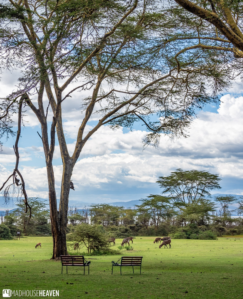 Two benches in the garden of the Lake Naivasha Sopa Lodge, surrounded by a heard of waterbucks