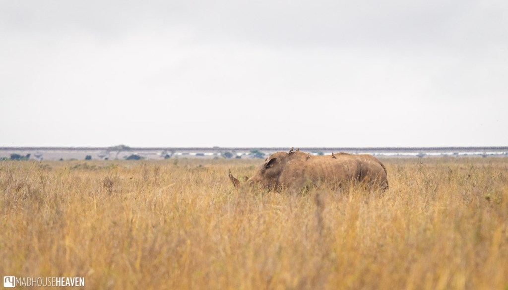 Rhino in a tall yellow grass in the Nairobi National Park, with birds on its back