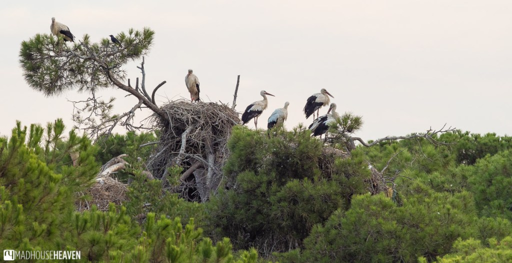 A large nest of storks on some treetops