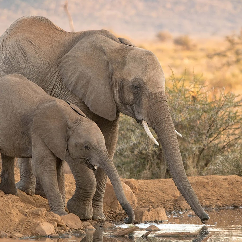 Two elephants drinking water at Madikwe Game Reserve