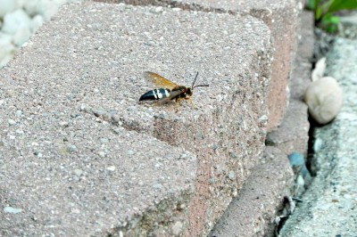 Late Summer Pests: Cicada Killers