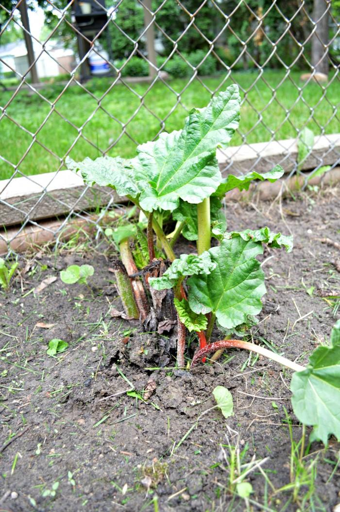 New Rhubarb Growth
