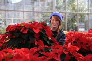Horticulture student Cora Bechteler prepares a colorful crop of poinsettias on sale now at Morrisville State College. Photo courtesy Ken Chapman.