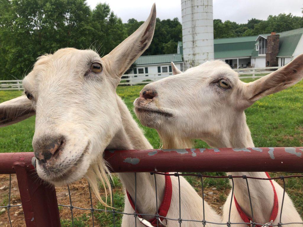 Meet Our Goats!
