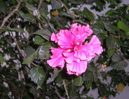 chinarose