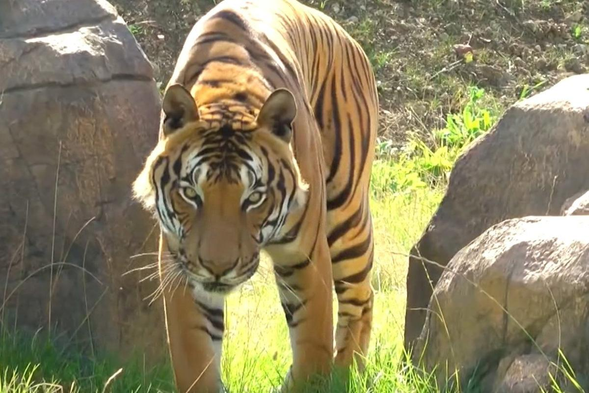 Tiger How Calvin Klein Cologne Could Help Capture A Man Eater
