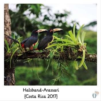Halsband-Arassari {Costa Rica 2017}