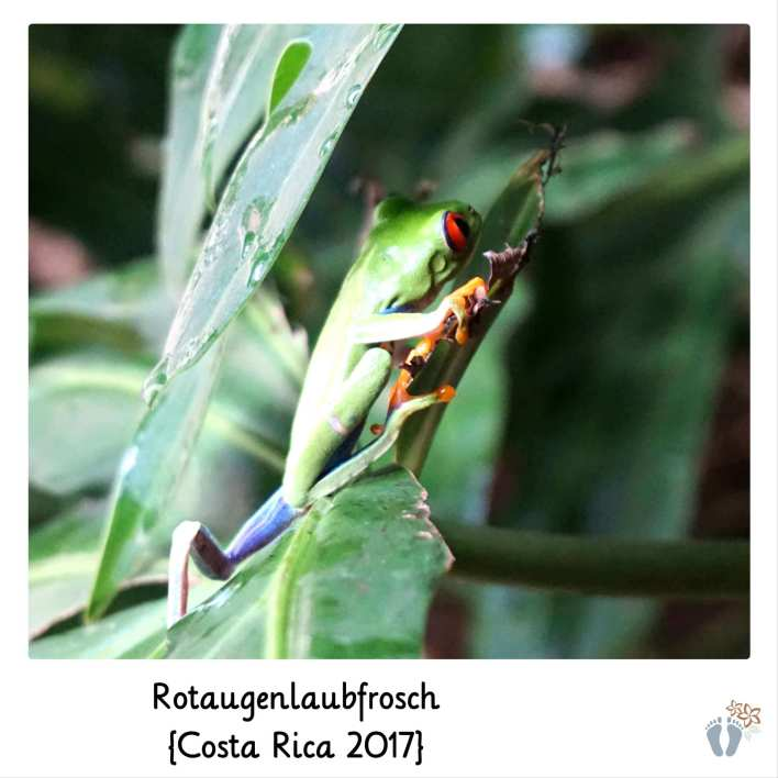 Rotaugenlaubfrosch {Costa Rica 2017}