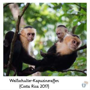 Weißschulter-Kapuzineraffen {Costa Rica 2017}