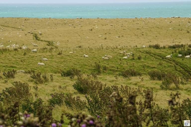 Schafherde beim «Slope Point» {Reisetagebuch «Roadtrip durch Neuseeland mit dem Bus»: «Catlins Coast»}