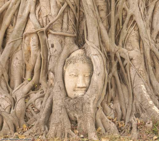 Wat Mahathat in Ayutthaya - Buddha-Kopf eingebettet im Banyanbaum (Reisetagebuch «Thailand als Alleinreisende ohne Roller entdecken»)